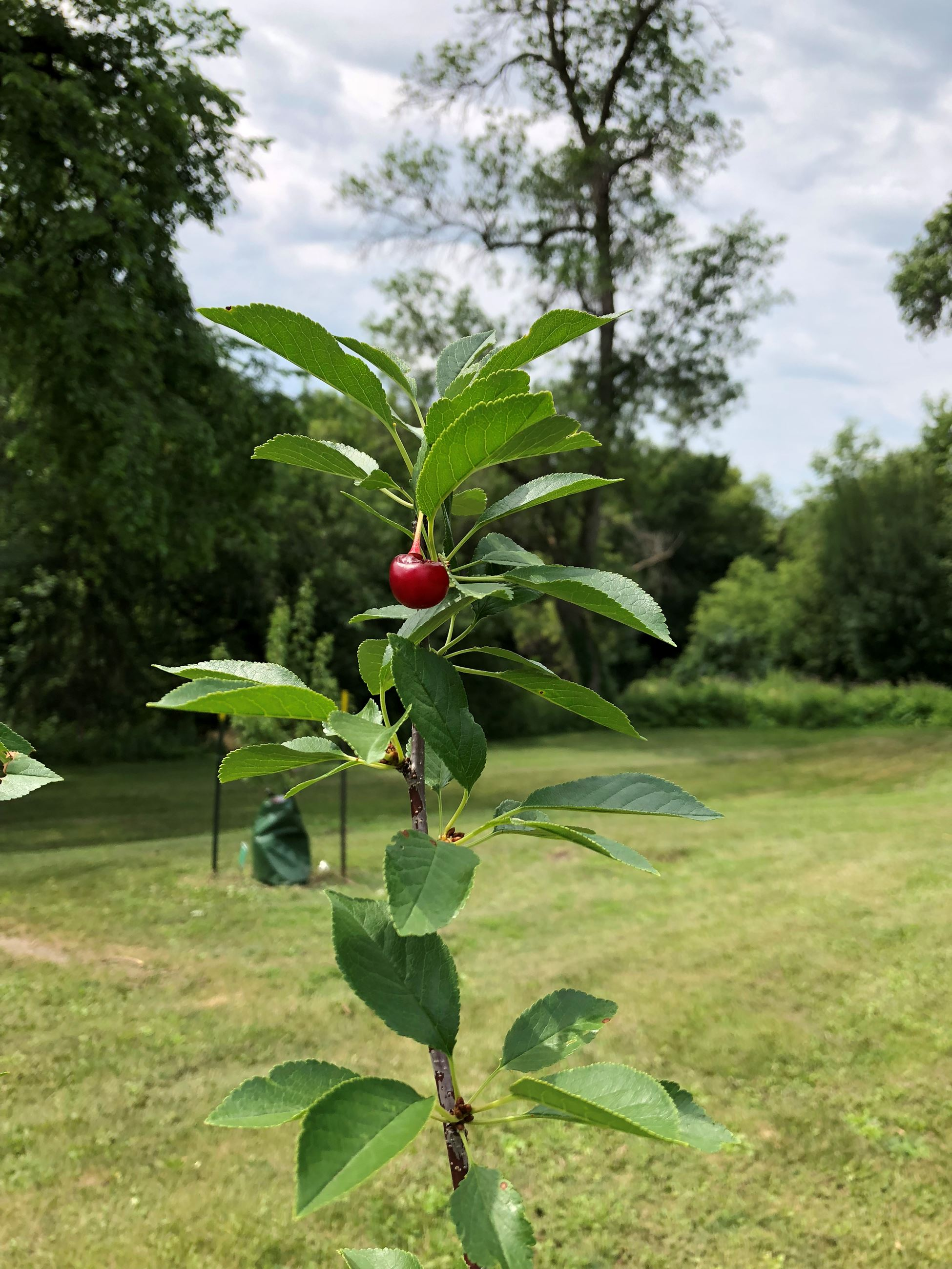Cherry in the Francis Street orchard